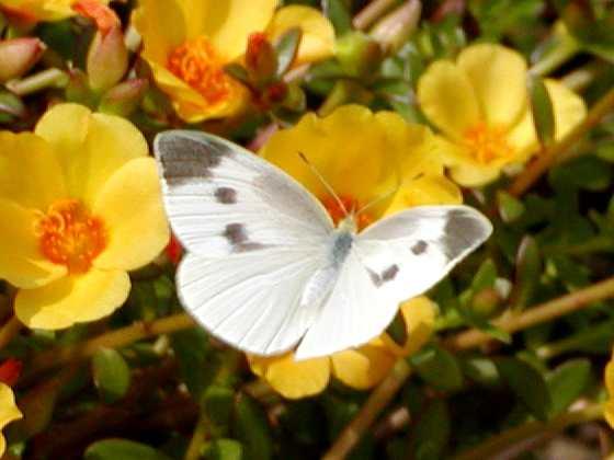 モンシロチョウの画像 p1_22