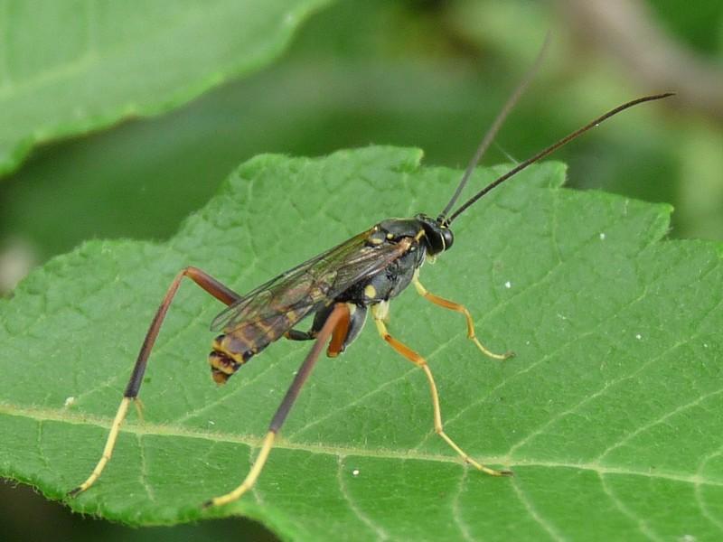 アシナガバチの画像 p1_29