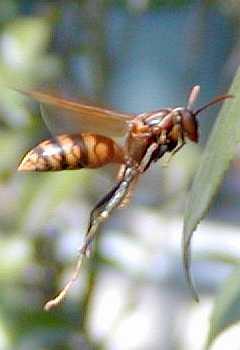 アシナガバチの画像 p1_31
