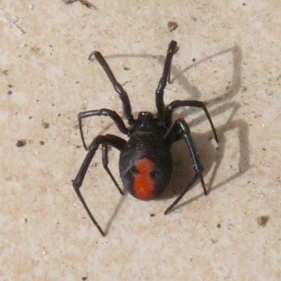 セアカゴケグモの画像 p1_34